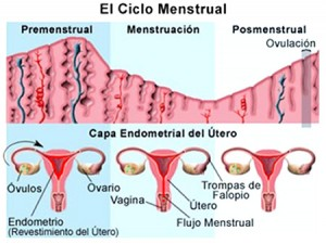 El Ciclo Menstrual Dias Fertiles Quedar Embarazada
