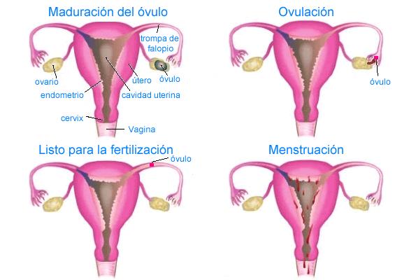 fases de la menstruacion y ovulacion